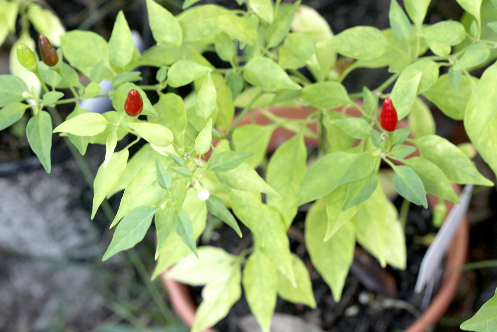 How to Grow Hot Peppers in buckets